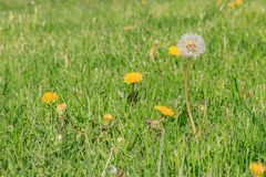 Dandilion blooms in lawn ready to start seeding and spreading Stock Images