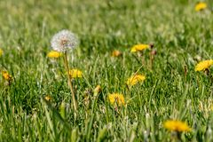 Dandilion blooms in lawn ready to start seeding Stock Images