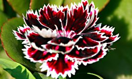 closeup of white red black carnation dianthus flower Royalty Free Stock Photo