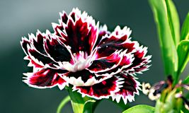 closeup of white red black carnation dianthus flower Stock Photo