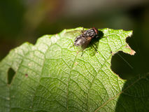 Close up of single flesh fly on green leaf macro Sarcophaga carn Stock Images