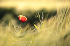 Poppy in the field of wheat on a sunnny spring morning. Close-up of single fresh poppy on a wheat field backlit by the rising sun. June, Poland royalty free stock images