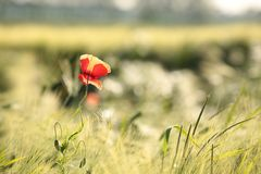 Poppy in the field of wheat on a sunnny spring morning. Close-up of single fresh poppy on a wheat field backlit by the rising sun. June, Poland stock photo