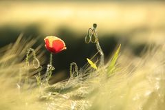 Poppy in the field of wheat on a sunnny spring morning. Close-up of single fresh poppy on a wheat field backlit by the rising sun. June, Poland royalty free stock image
