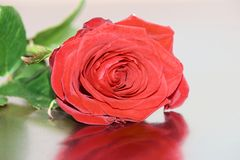 Single red rose on reflective surface. Close-up of single head of red rose on reflective surface stock photography
