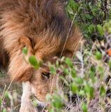 Male lion sniffing in bushes. Close-up of a single male lion Panthera leo sniffing in the bushes at Maasa Mara National Park, Kenya Royalty Free Stock Photo