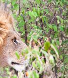 Close-up of male lion staring into bushes Stock Photos