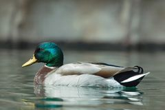 Wild duck swimming in water. Close up of single mallard swimming in water Stock Images