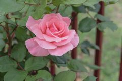 Blooming pink rose flower on garden iron fence stock photography