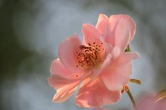 Close up of a single pink rose stock images
