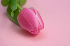 Close up of single pink tulip Stock Image