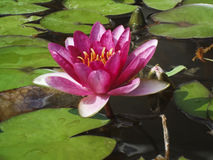 Close-up single pink water-lily in the water Royalty Free Stock Image