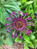 Pretty purple Daisy Flower in garden Stock Image