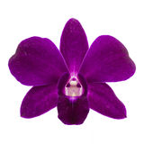 Close-up of single purple Orchid flower on white background. Stock Photography