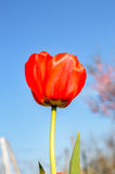 Close Up of Single Red Tulip Royalty Free Stock Photo