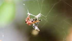 Close up of Single red wasp Stock Image