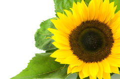 Close up of a single sunflower. Isolated on white background royalty free stock photos