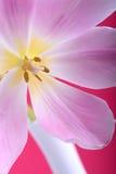 Close-up single tulip flower Royalty Free Stock Image