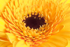 Close up of single yellow dahlia Royalty Free Stock Photography