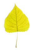 Close up on single yellow leaf with leaf vein texture Royalty Free Stock Photography