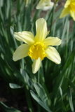 Close up of single yellow narcissus with luxuriant green leaves Royalty Free Stock Image