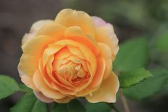 Close up of a single yellow orange rose flower. stock images