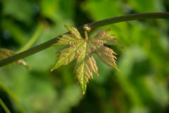 Close Up of Single Young Leaf of Grapes, in a Plantation Grape royalty free stock photo