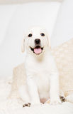 Close up of sitting on the sofa Labrador puppy Royalty Free Stock Photos
