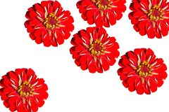 The close up of six red flowers Gerbera on a white background royalty free stock image