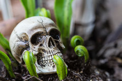 Close up skull human new born fern. Royalty Free Stock Photography