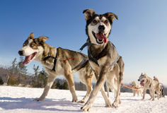 Close up of a sled dog, heading towards the camer. Moment caught on photos - dog sled Stock Photos