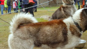 Close up of sled husky dogs at the park. Slow motion stock video footage