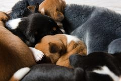 Close-up of sleeping basenji puppies heads stock photography