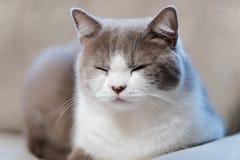 Close-up of a sleeping cat. Close-up of sleeping British short hair cat with grey fur stock photos