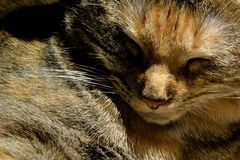 Close up of sleeping cat`s face. With detailed textures in fur Royalty Free Stock Images