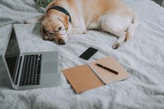 Close up of a sleeping dog on the bed. Close up of a laptop lying on the bed near sleeping dog stock photography
