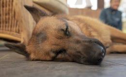 Sleeping German shepherd. Close up of sleeping German shepherd royalty free stock photos
