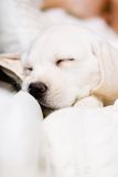 Close up of sleeping puppy on the hands of owner royalty free stock photography
