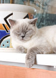 Close-up sleeping smoky cat portrait royalty free stock photo
