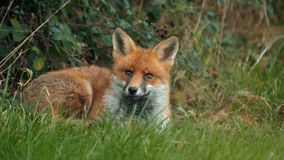 Sleeping Urban Fox Wakes & Looks Up, Slow Motion stock video footage
