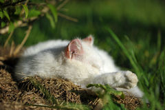 Close-up of sleeping white cat Stock Photography