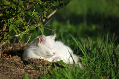 Close-up of sleeping white cat Stock Images