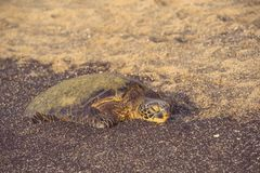 Sleepy Green Turtle on Beach Stock Image