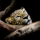 Close up sleepy Leopard Portrait Royalty Free Stock Photography