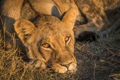 Close-up of sleepy lion staring at camera Stock Image