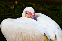Sleepy Pelican. Close up of a sleepy pelican with its beak  resting on its back between its wings Stock Images