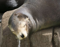 A Close Up of a Sleepy Sea Lion Royalty Free Stock Photos