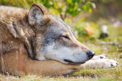 Close up of sleepy wolf who rests in the forest Royalty Free Stock Photography