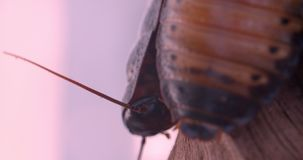 Close-up slide shot of two black beetles walking on tree bark and moving their whiskers in terrarium. stock video footage