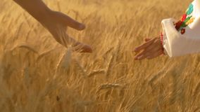 Close-Up, Slow Motion, The Hands of Two Rural Women Walking in the Field Stroking Growing Wheat Spike Early In the. Close-Up, Slow Motion, At Dawn The Hands of stock footage